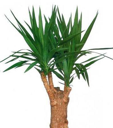 Юкка 120 Пальма