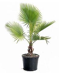 Вашингтония 3ств. 80 Пальма