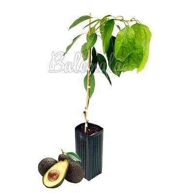 Авокадо Пальма