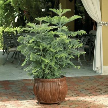 Араукария Домашняя ель