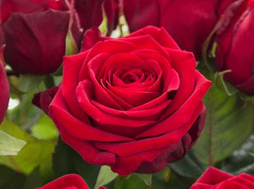 Роза Рэд Наоми чайно-гибридная