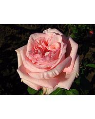 Роза Пинк Охаро чайно-гибридная