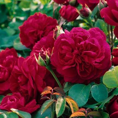 Роза Тэс английская флорибунда