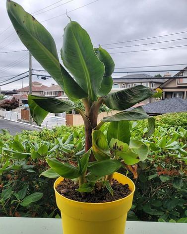 Комнатный банан Китайский карлик