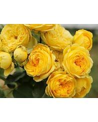 Роза Каталина чайно-гибридная