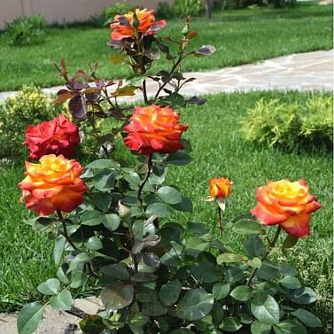 Роза Хай Мэджик чайно-гибридная
