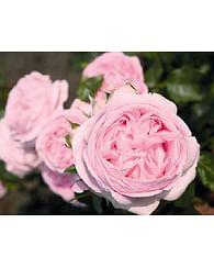 Роза Вояж чайно-гибридная