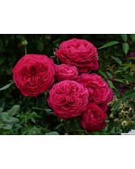 Роза Госпел чайно-гибридная