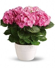 Гортензия розовая домашняя