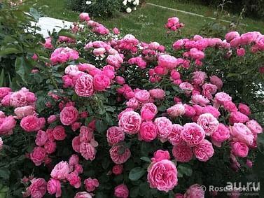 Роза Леонардо да Винчи флорибунда