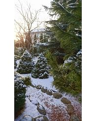 Канадская ель Коника НД садовая