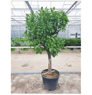 Лимоновое дерево