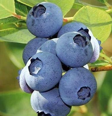 Голубика садовая Блюкроп