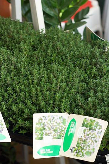 Тимьян зелёный