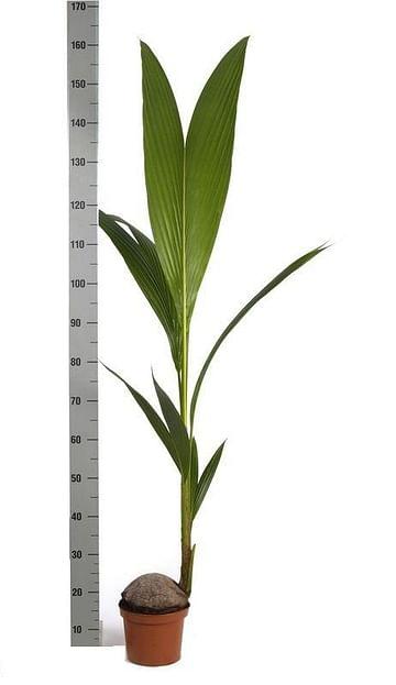 Кокосовая 140 Пальма