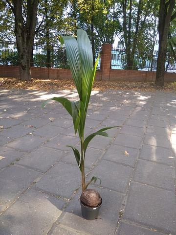 Кокосовая пальма 140см
