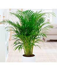 Дипсис 160 Пальма