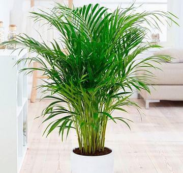 Арека пальма