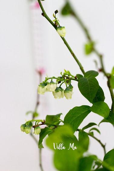 Голубика садовая Блю голд
