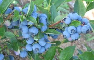 Голубика садовая Чантеклир