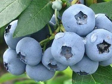 Голубика садовая Элизабет 3хлет