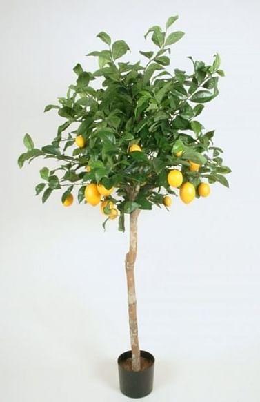 Лимон большой 160-175 см на штамбе
