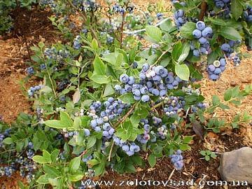 Голубика садовая Эрли блю