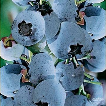 Голубика садовая Патриот