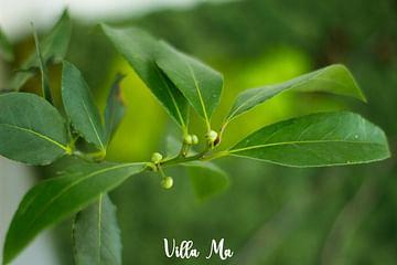 Лавровое дерево лавр