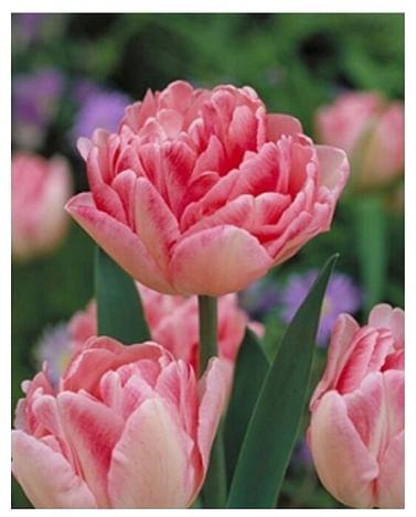 Розовый тюльпан Foxtrot -Букет в горшке