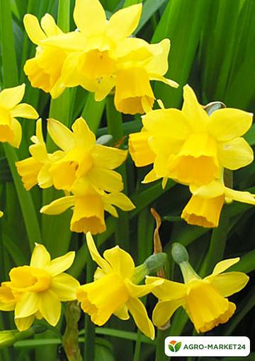 Нарцисс жёлтый -Букет в горшке