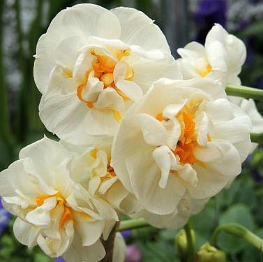 Нарцисс Bridal Crown -Букет в горшке