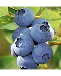 Голубика садовая Харди блю