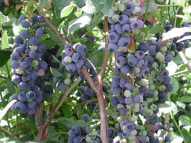 Голубика садовая Нортланд