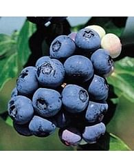 Голубика Нортланд садовая