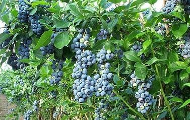 Голубика садовая Нуи