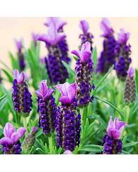 Лаванда французская цветущий куст