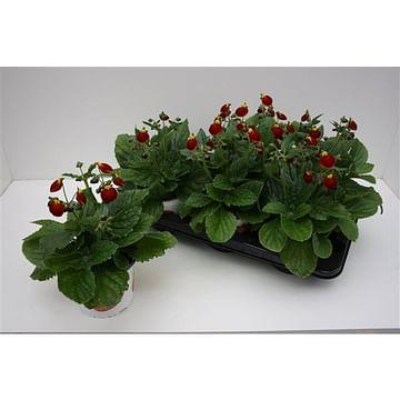 Кальцеолярия комплект ( 6 растений)