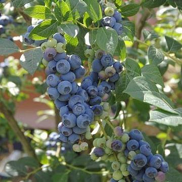 Голубика садовая РекА