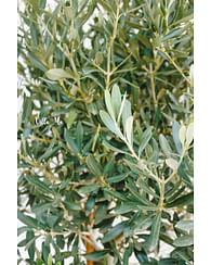 Олива маслина