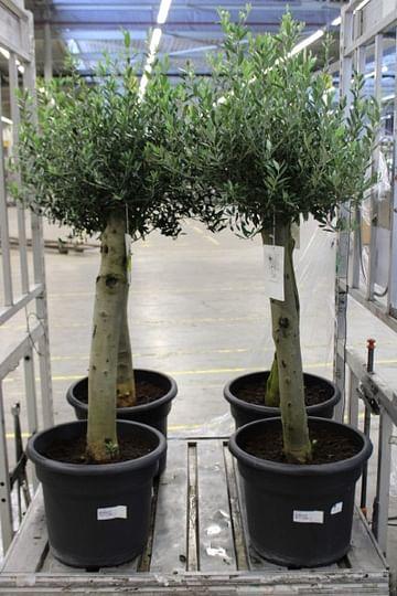 Олива дерево 150 бонсай