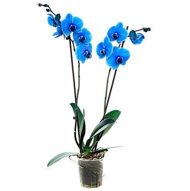 Синяя королевская орхидея АКЦИЯ