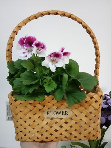 Пеларгония цветущая в корзине