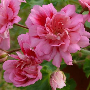 Пеларгония Unicorn Zonartic Rose