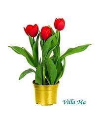 Тюльпаны алые -Букет в горшке