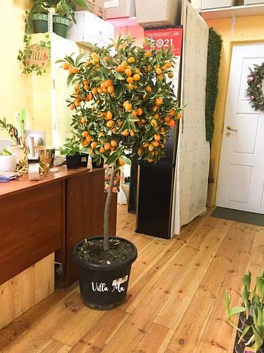 Кумкват Маргарита дерево