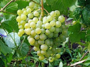 Виноград зел. Алёшенькин