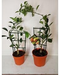 Цитрус деревце каламондин без плодов