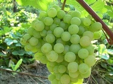 Виноград зел. Супага