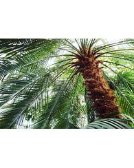 Финиковая 160 Пальма